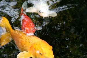 Koi fish at the Self-Realization Fellowship in Encinitas.